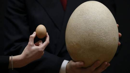 Giant elephant bird egg comparison with a normal one