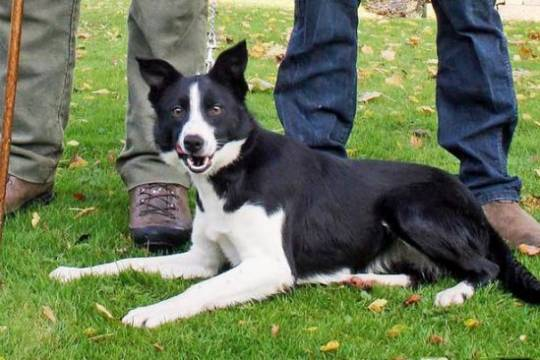 Most expensive Sheepdog: Marchup Midge