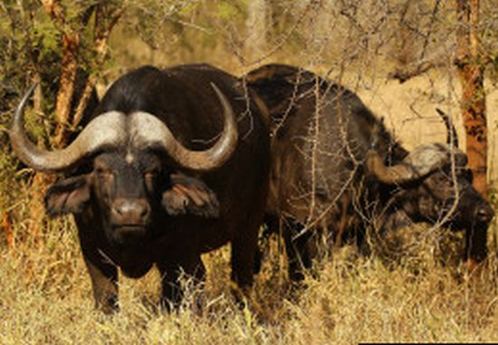 Most expensive Buffalo Bull: Horizon from South Africa